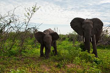초베의-코끼리